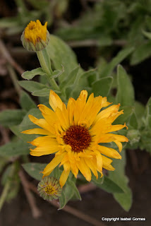 Calendula officinalis has been a popular edible flowers since the Middle Ages.