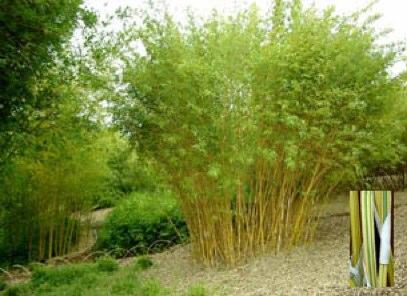 Bambou alphonse karr