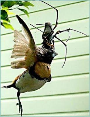 Araña gigante comiendose un pájaro
