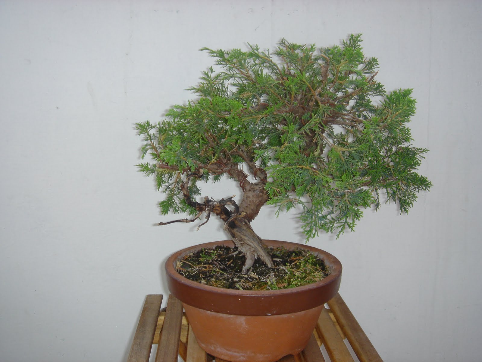 Work On New Juniper SHARI Amp JINS Kenneth Olsen39s Bonsai Blog