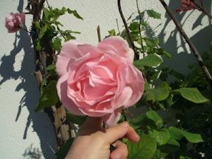 A Rosa da Solidariedade.