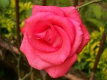 A Rosa da Nossa Amizade