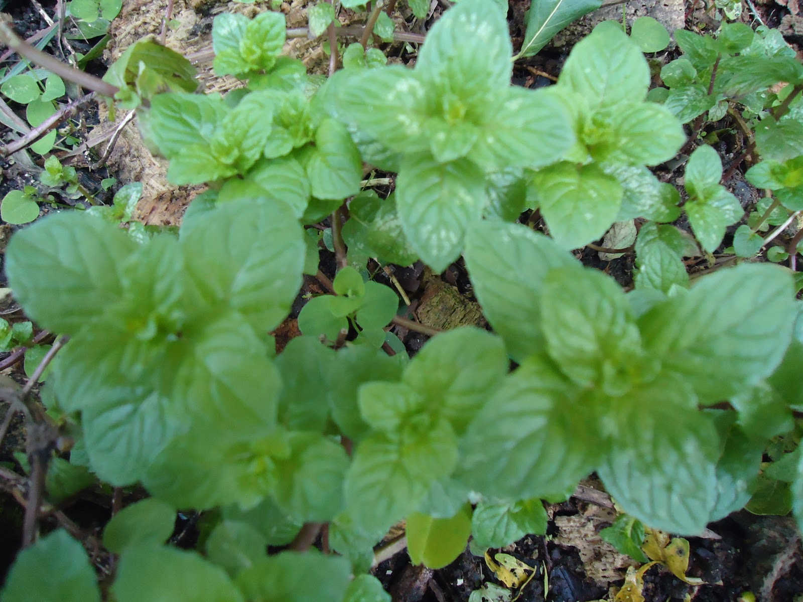 Las plantas medicinales for Plantas ornamentales y medicinales