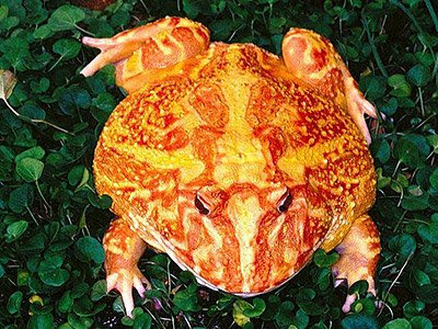 Orange Yellow Coloured Frog