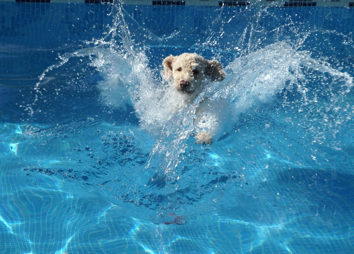 ... para Perros: Spanish Water Dog Jumping and Diving in a Swimming Pool