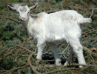 downloading pictures of baby goats wikipedia