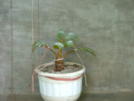 Coconut of Bonsai