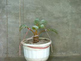 Coconut of Bonsai