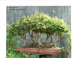 kupa landak (sysigium cauliflora )
