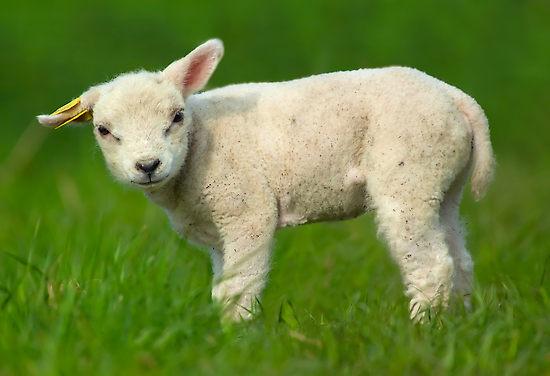Sheep fetus - photo#9