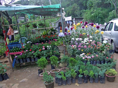 Philipveerasingam flower plants for sale haldumulla sri for Sri lankan landscaping plants