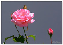 E quando a rosa desponta...