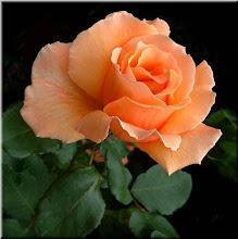 Rosa da Páscoa