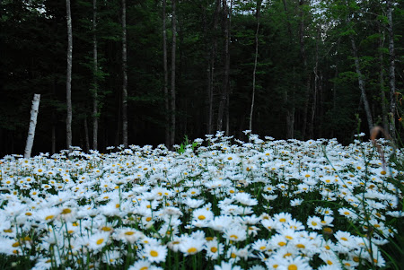 Shasta Daisies