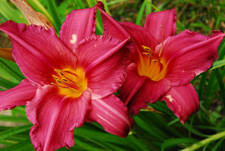 Daylillies