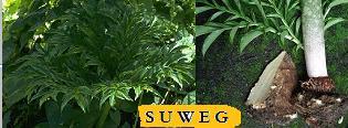 Wit Suweg - Umbi Liar