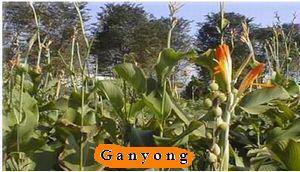 Wit Ganyong