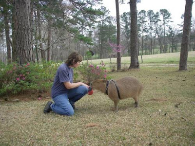 Images Capybara Rodent 2011