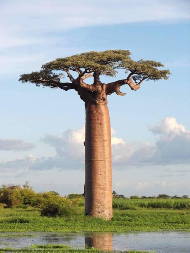 baobab bonsai baobab trees for sale. Black Bedroom Furniture Sets. Home Design Ideas