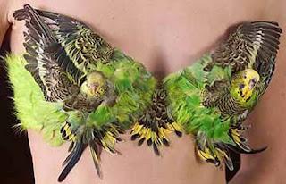 Sutia mataram o papagaio