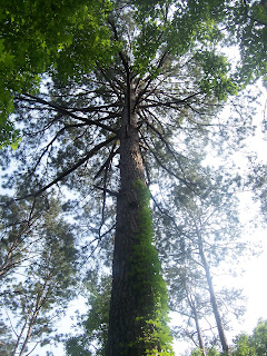A very tall pine impressed on our hike.