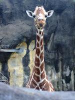 看鏡頭長頸鹿