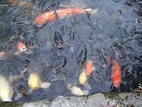 嗷嗷待哺的鯉魚