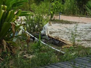 silsilah kucing gambut