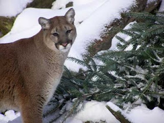 Cougars in nh