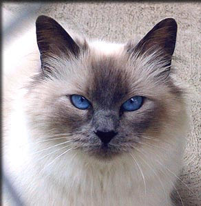 Balinese cat facts