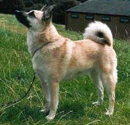 Best Animal Picture: Norwegian Buhund Dog