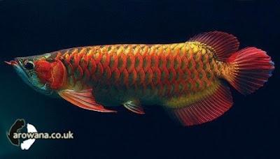 Jenis Jenis Ikan Arwana [ www.BlogApaAja.com ]