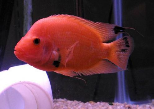 Tips about cichlids learn how to breed red devil cichlids for Red devil fish