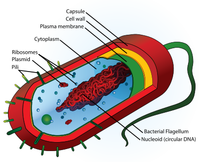 cell a basic unit of life : human lung cell diagram - findchart.co