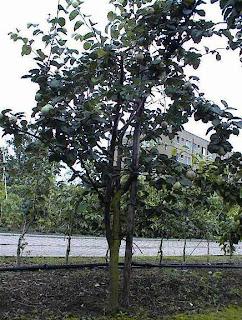 kweeperenboom
