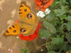 A garden resident/ the Peacock Pansy