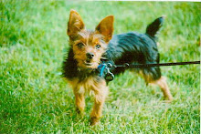 Our Chorkie- Romeo!!!!