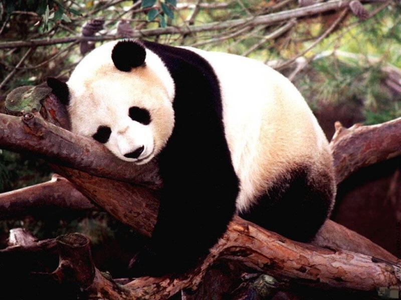 2009215231348_panda-vero.jpg