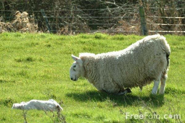[01_48_6---Sheep-and-Lamb--Northumberland_web.jpg]