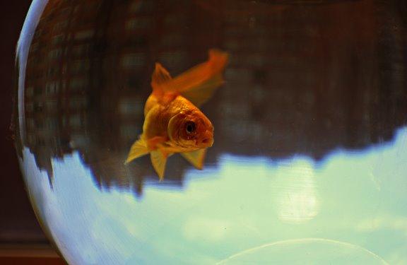 золотая рыбка город призма gold fish city prism