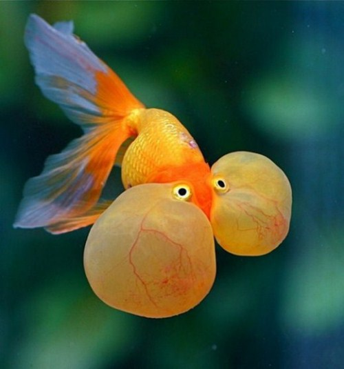 beautiful Bubble Eye Goldfish