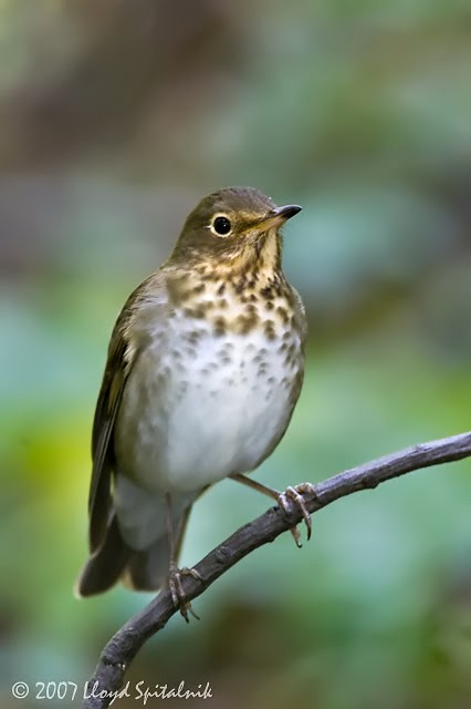 Linda benson song of the swainson 39 s thrush for 2 little birds sat on my window
