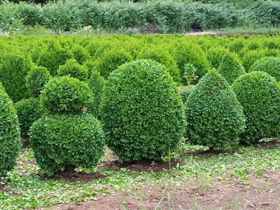 Чемшир / Buxus sempervirens