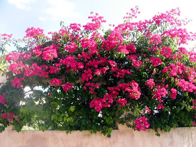 Грижа за цветята - Бугенвилия / Bougainvillea