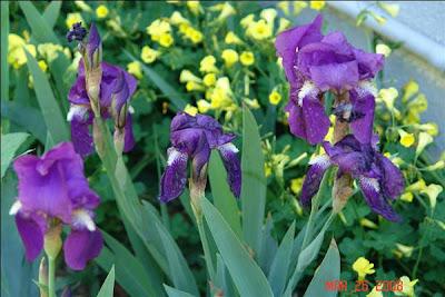 Зайчият замбак - Перуника / Iris germanica