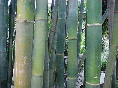 Разпространение на бамбука