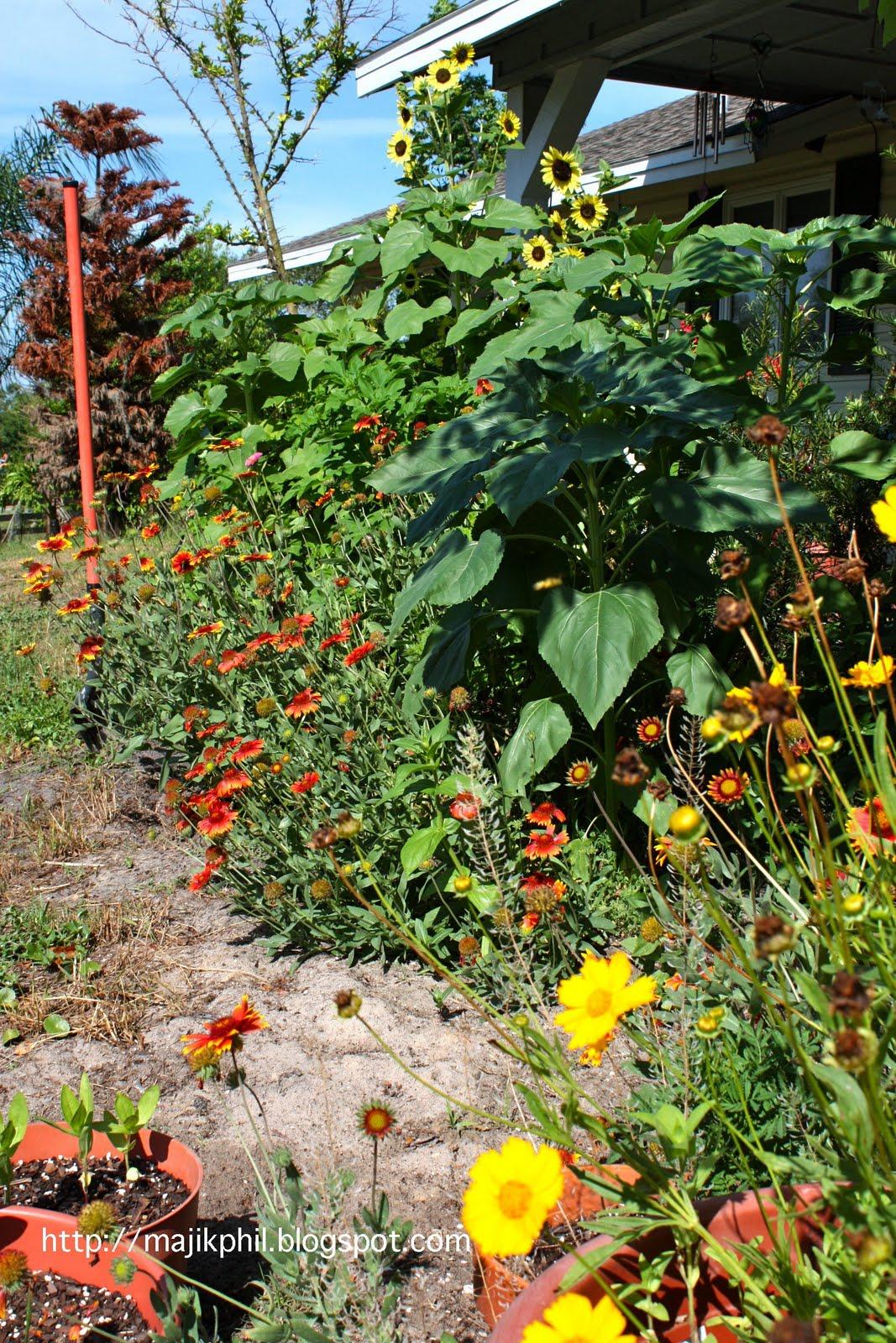 http://1.bp.blogspot.com/_iq35idBHCr0/S_A66MPaZbI/AAAAAAAACOA/FwVThwK9oVI/s1600/Sunflowers%2BMay%2B2010%2BCopyright%2BPhillip%2BLott.jpg