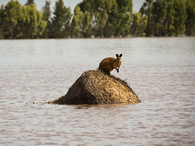 Above: A wallaby trapped by rising floodwaters in Dalby, Queensland,