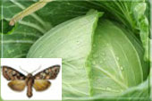 Капустная совка- гусеница и бабочка
