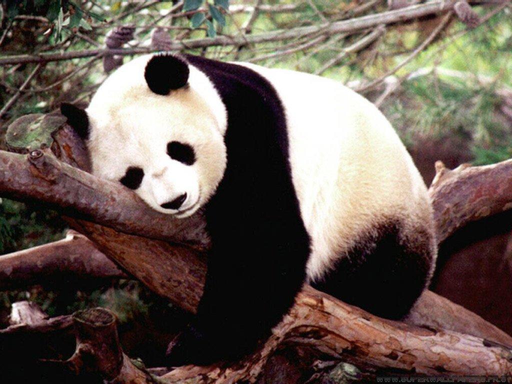 KoKoro kururu [FT] Fond-ecran-Panda